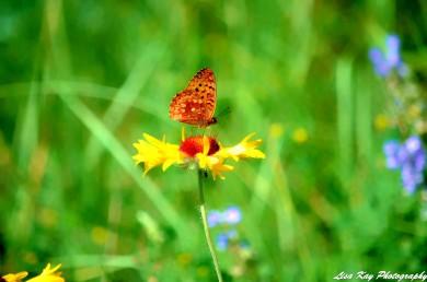 ButterflyDreams