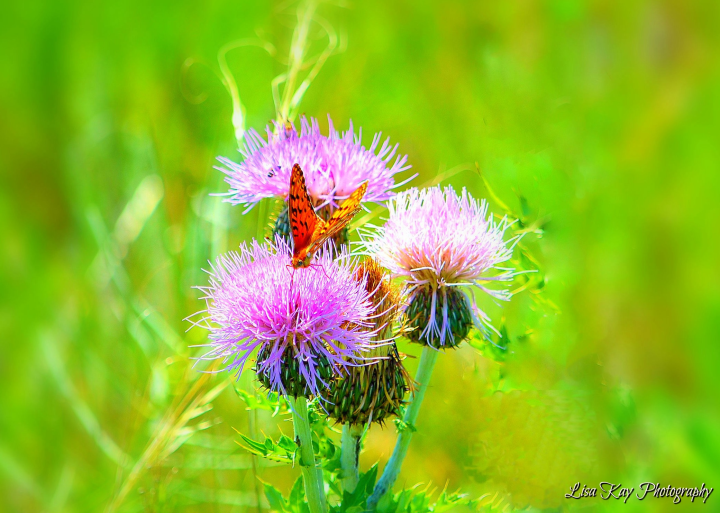 ButterflyThistle6