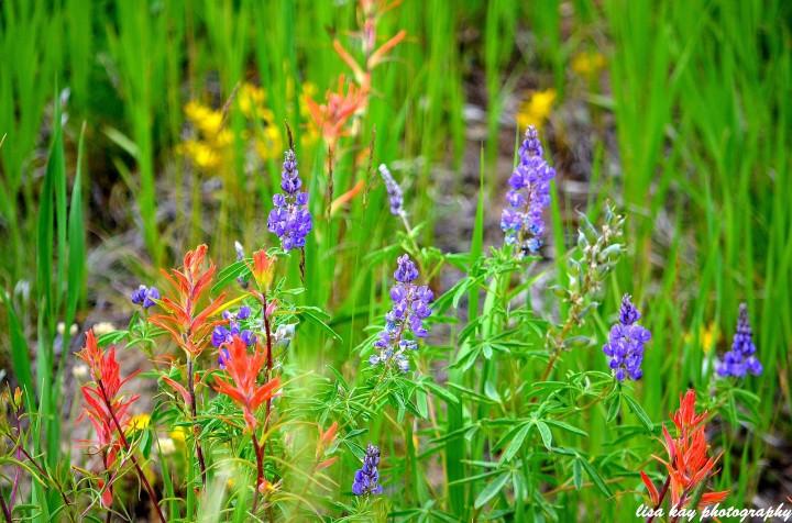 SnowyRangeWildflowers