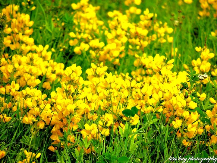 YellowBells