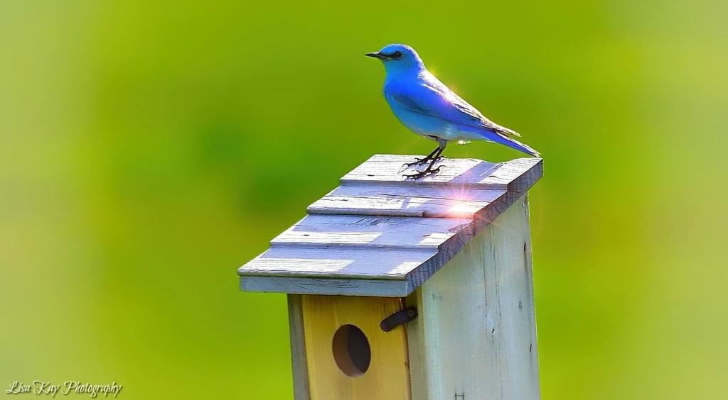 Bluebird7jpeg