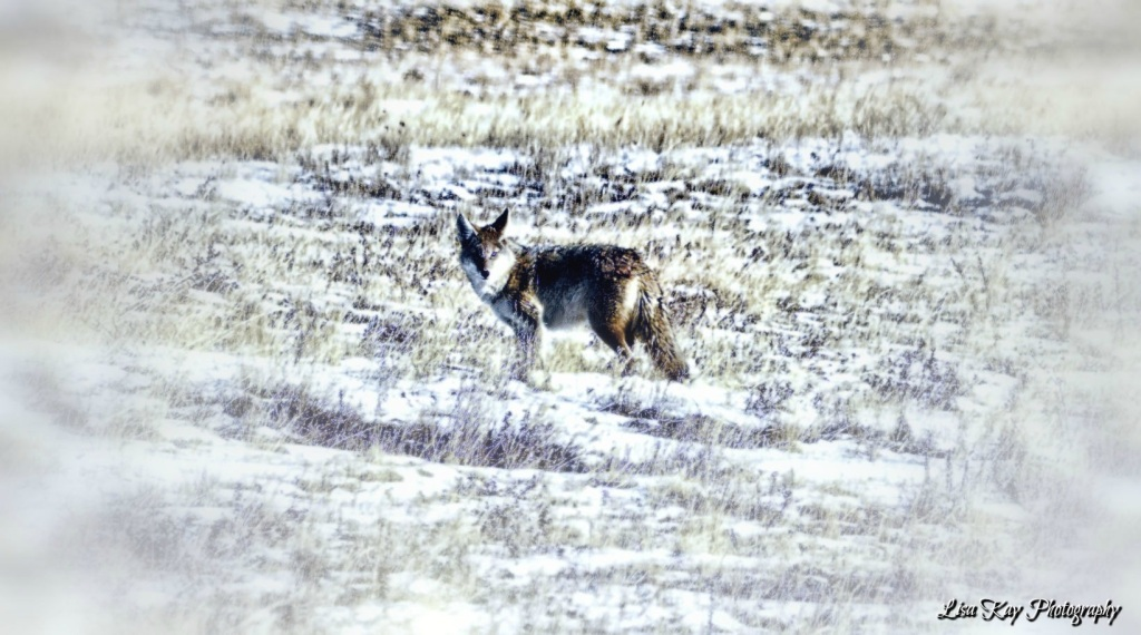 WinterCoyote