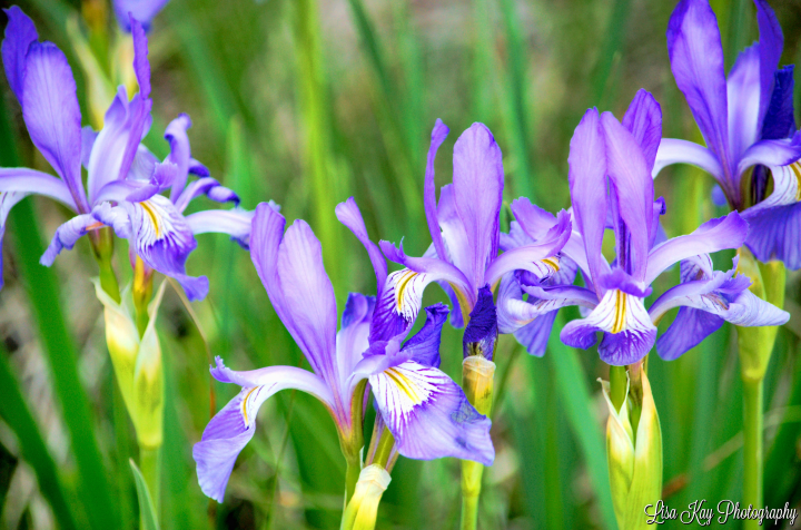 Wild Iris In Spring Wyoming