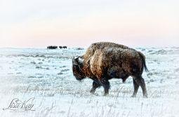 buffalowinter2