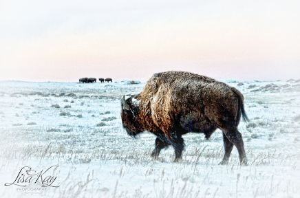 buffalowinter2